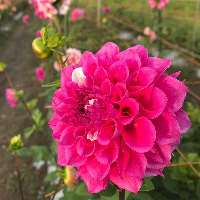 日照時間が短くなって、もう森川農園のダリアは出荷をやめます。今年も綺麗に咲いてくれてありがとう!#ダリア #大仙市 #森川農園 #森川農園のダリア #dahlia