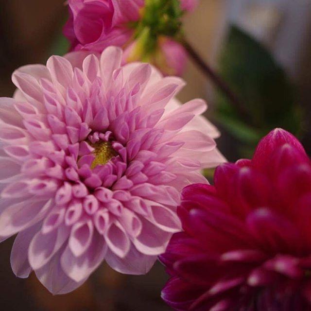 千駄木の平澤剛生花店さまにダリアを扱っていただきました。今年は終了。また来年の8月下旬から納品します!#ダリア #森川農園 #森川農園のダリア #平澤剛生花店