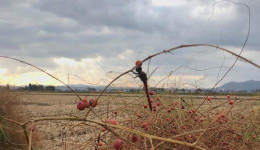 アスパラガス畑も冬支度