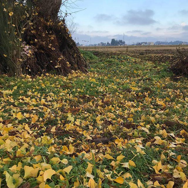 晩秋 イチョウの葉もすべて落ちました。週末は雪の予報です!# 晩秋 # イチョウ # 冬 #大仙市