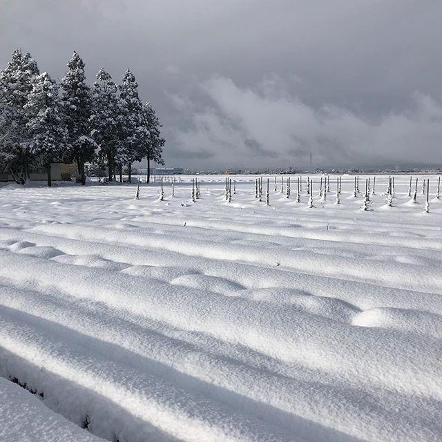 ダリアの球根、この雪の下(泣) まさか根雪にはならないよね?#ダリア #ダリア畑 #ダリア球根 #雪 #秋田県 #大仙市 #森川農園