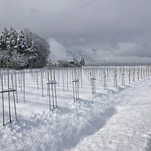 一晩でアスパラガス畑が白銀の世界に!#秋田県  #大仙市 #森川農園  #雪 #大雪 #白銀