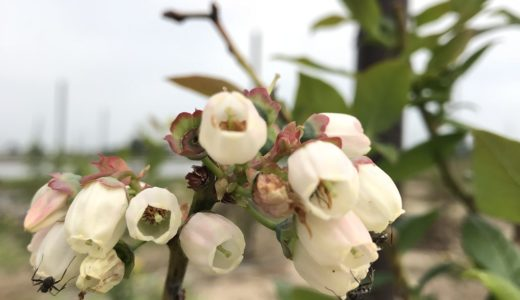 森川農園のブルーベリー 花が咲きました