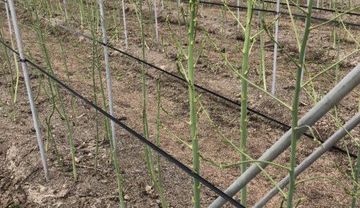 アスパラガス 夏に向けて茎や葉を育てています
