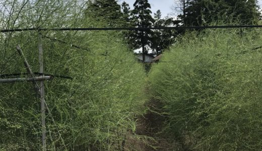 森川農園のアスパラ 葉が茂ってきました
