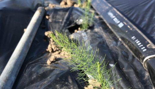 アスパラガスの苗を植えました